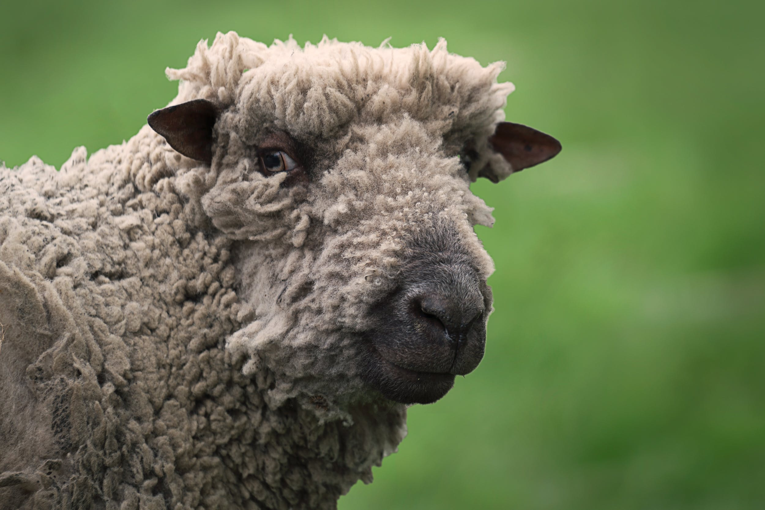 Free stock photo of animal, farm, sheep, wool