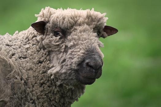 Free stock photo of animal, farm, sheep, wool