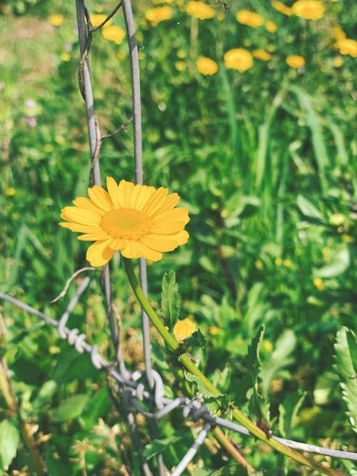 Free stock photo of beautiful flower, beautiful nature, golden yellow