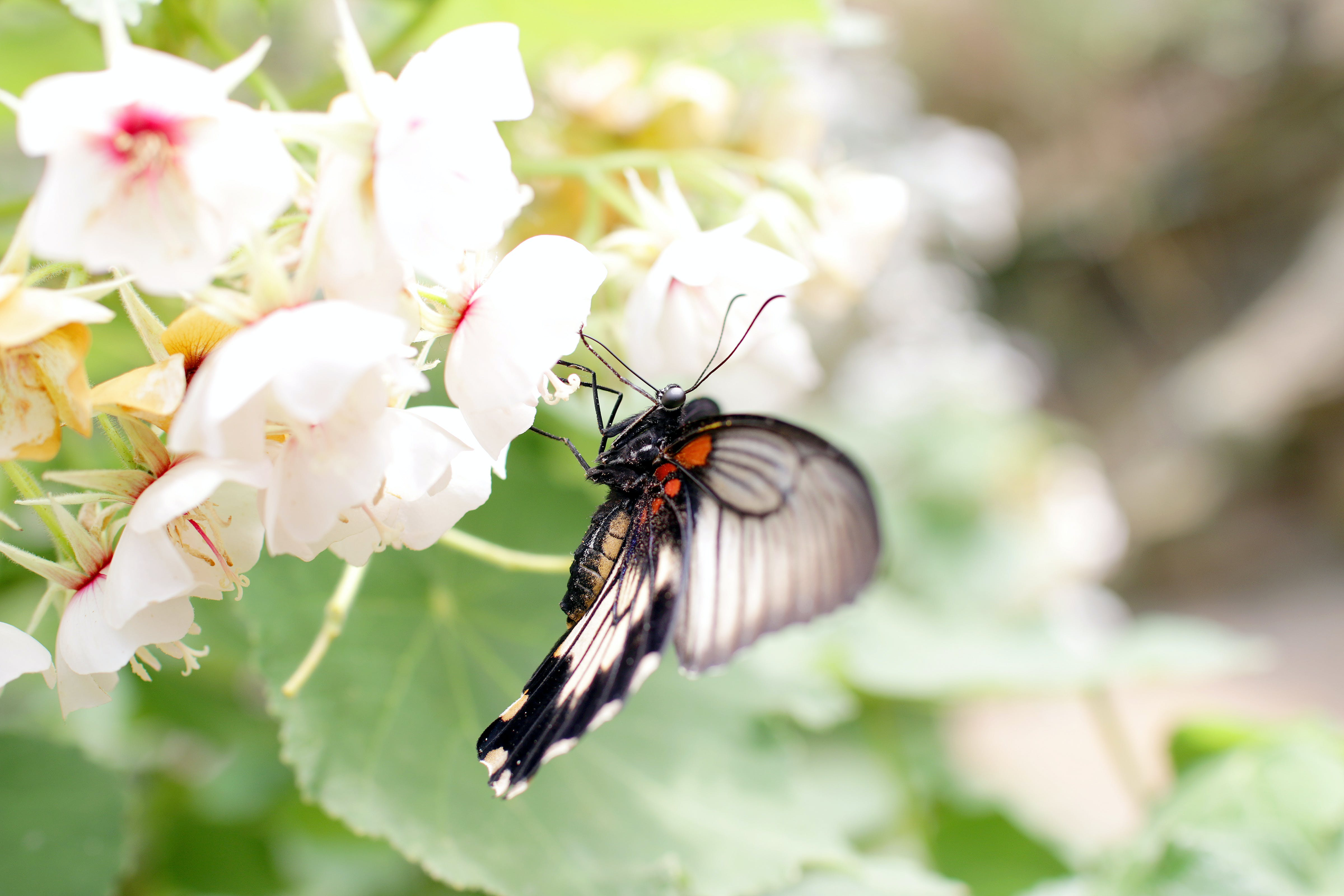 White Butterfly Sits on Flower