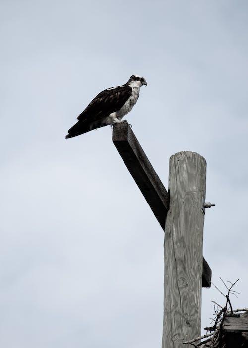 Free stock photo of animals, birds of prey, osprey