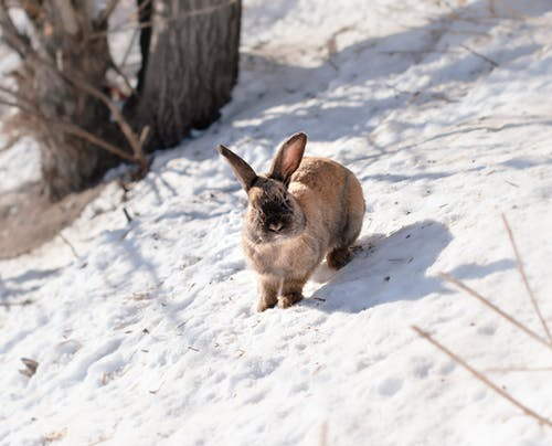 Brown Rabbit on Snow Covered Ground
