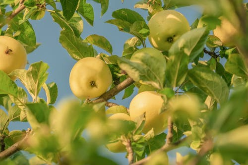 Close-Up Shot of Apples on the Tree