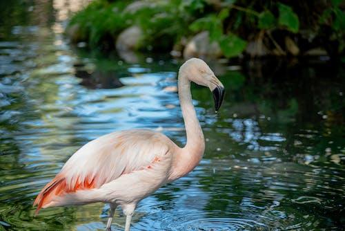 Pink Flamingo on Water