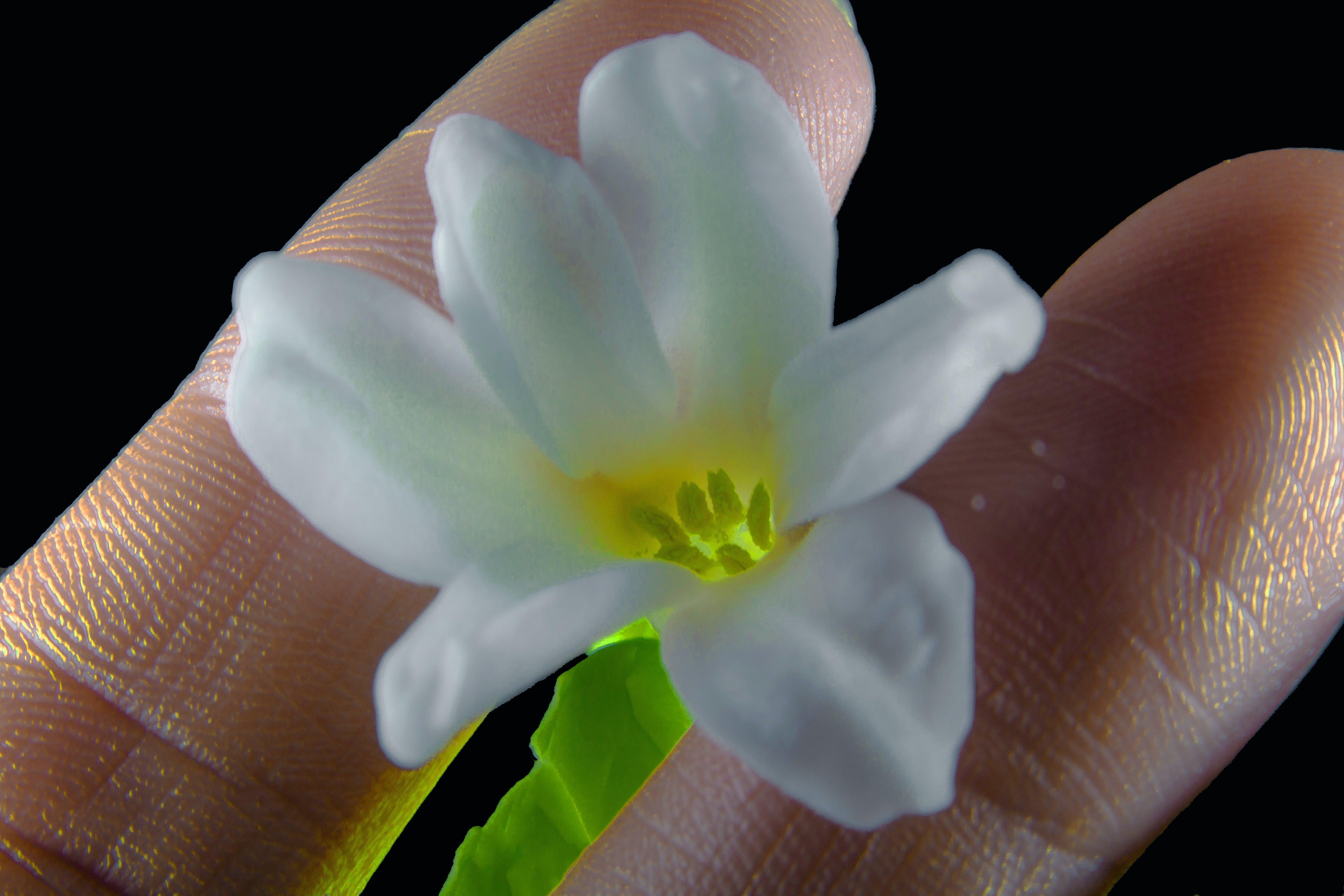 Free stock photo of light, white, flower, fingers