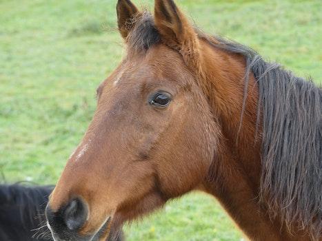 Free stock photo of horses, stallion
