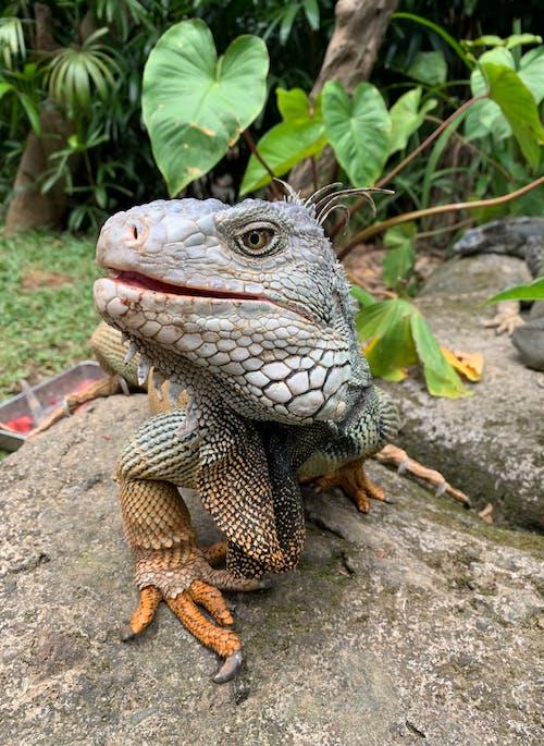 Close-Up Shot of an Iguana on a Rock