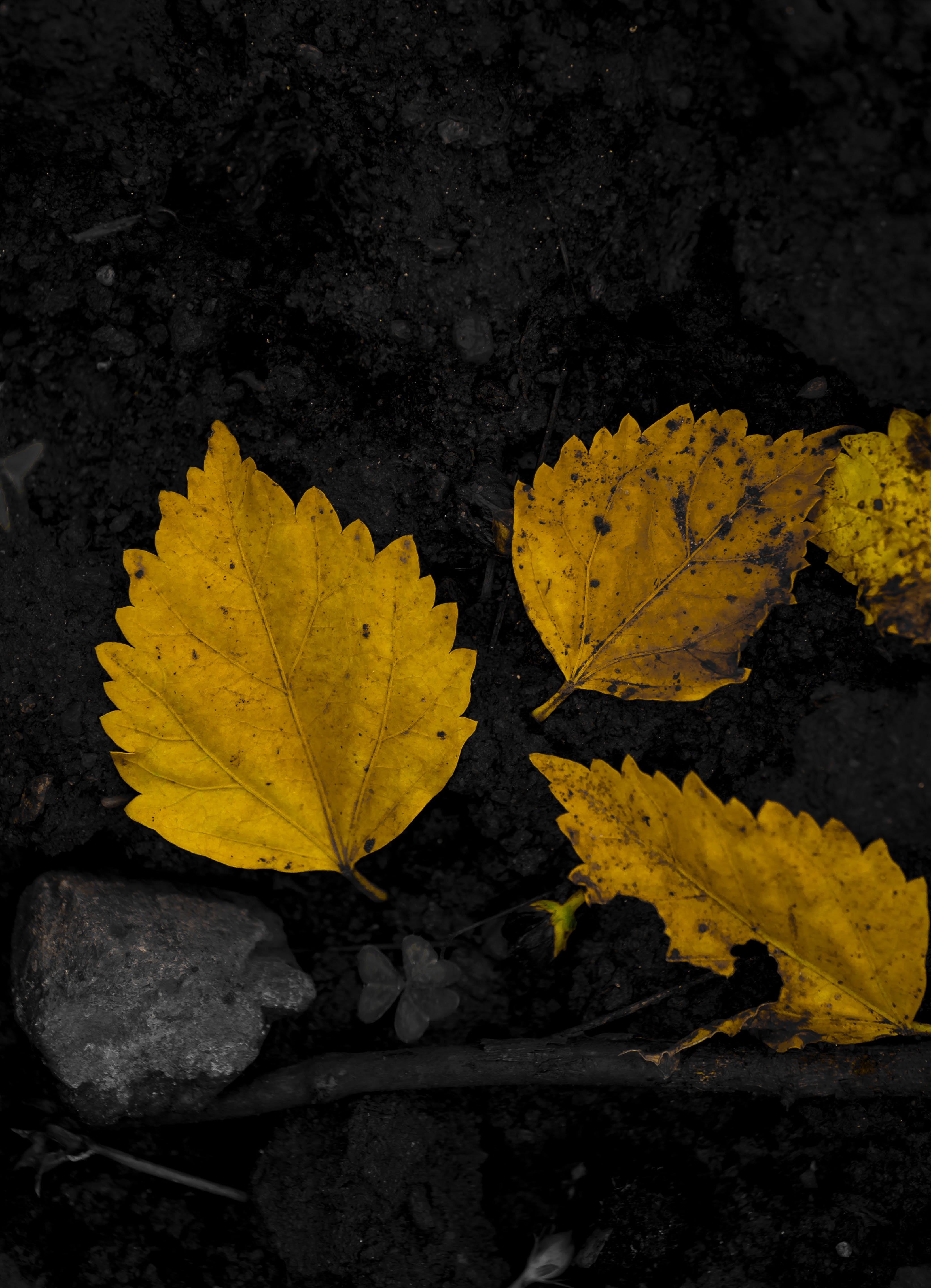 Free stock photo of dried leaves, fall leaves, monochrome, yellow