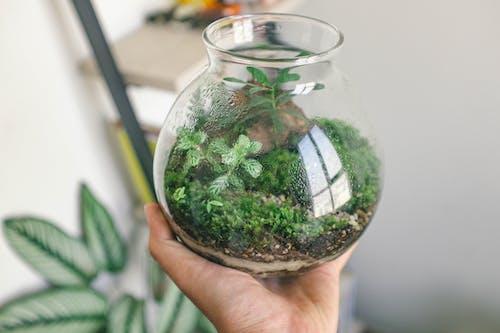 Green Kush in Clear Glass Jar