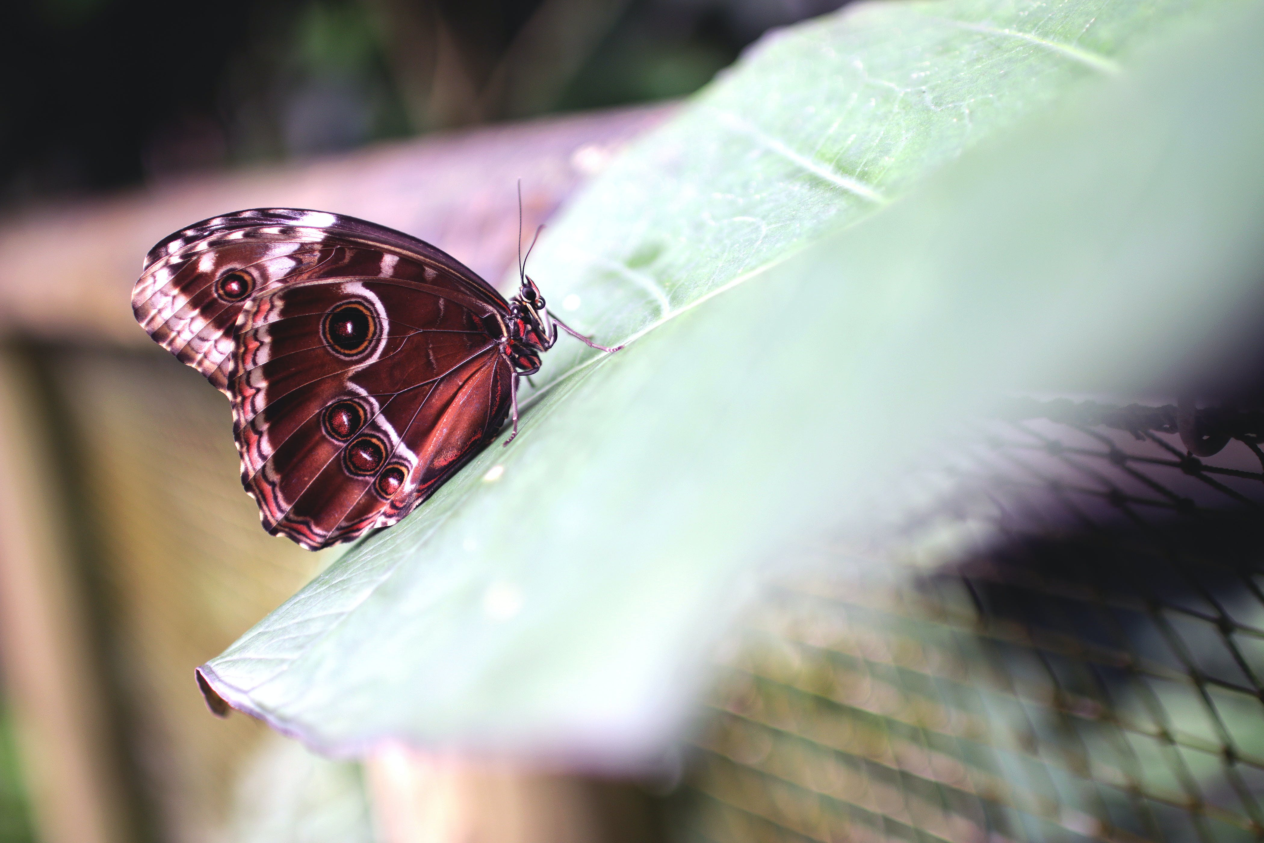 Selective Focus Photo of Morpho Butterfly on Green Leaf