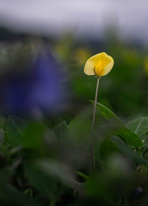 A Beautiful Yellow Pea Flower
