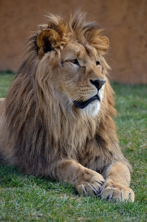 A Lion Lying on the Grass