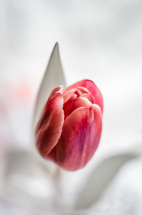 Pink Tulip in Bloom Close Up Photo