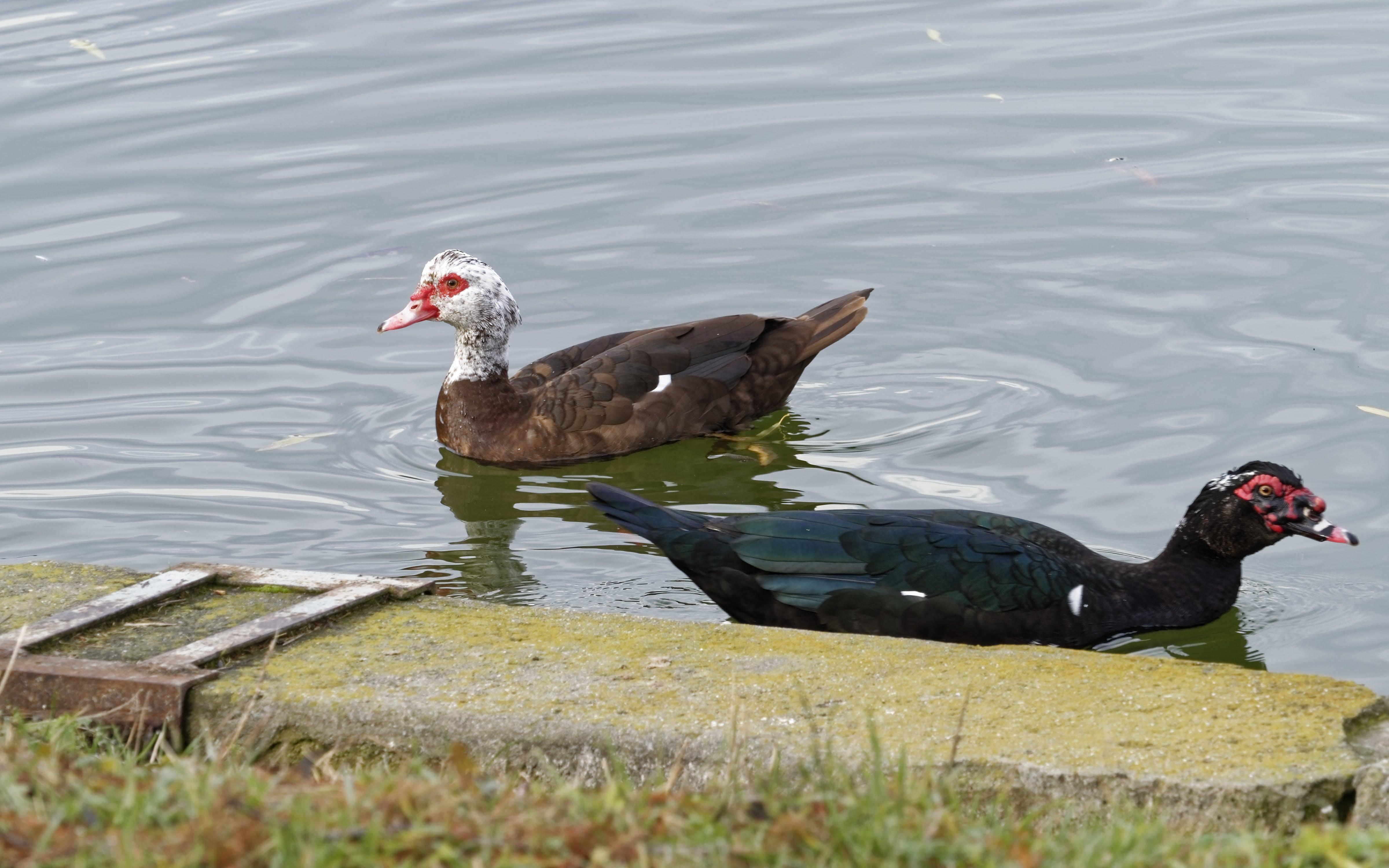 Free stock photo of birds, coloured, concrete border, ducks