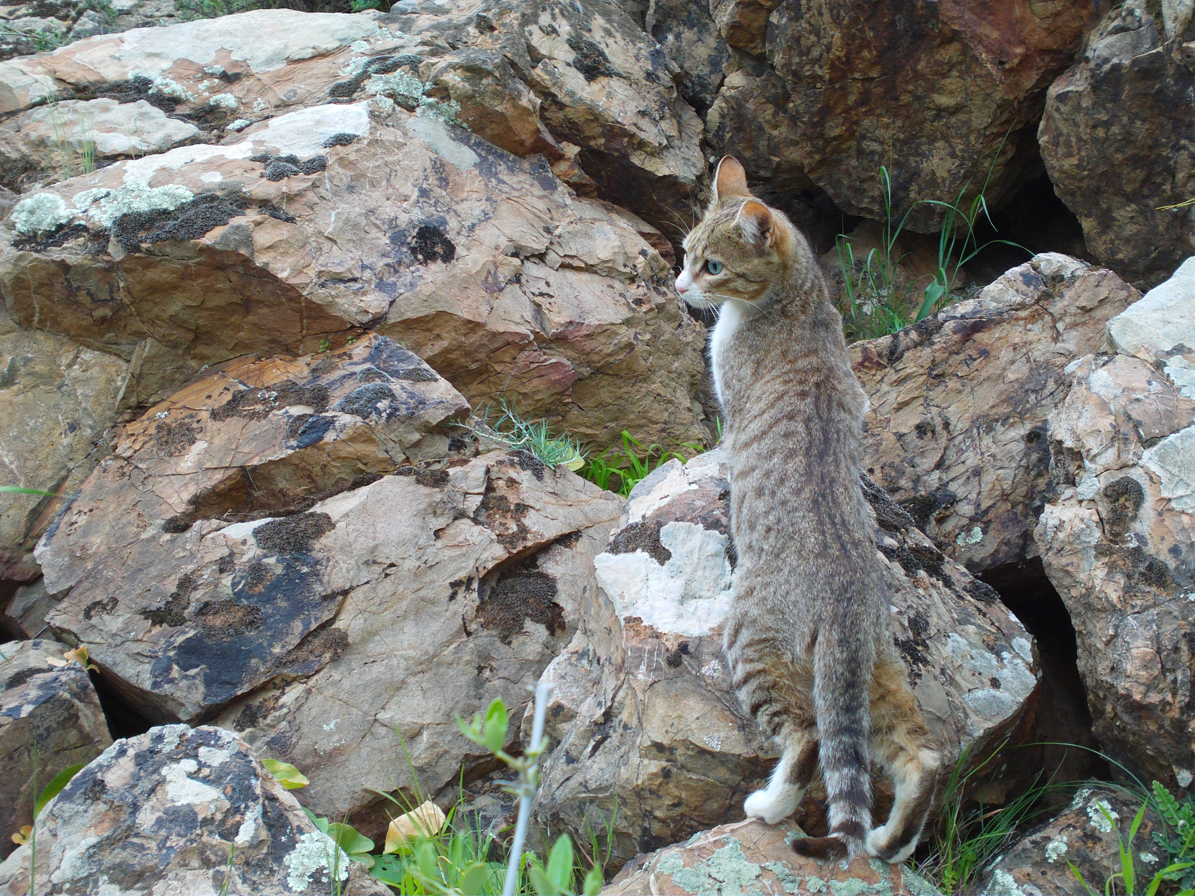 Free stock photo of cats, nature, wild cats