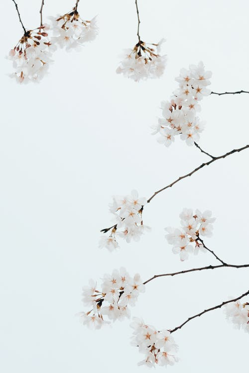 Branches of cherry tree with white flowers growing under bright cloudless sky in daylight