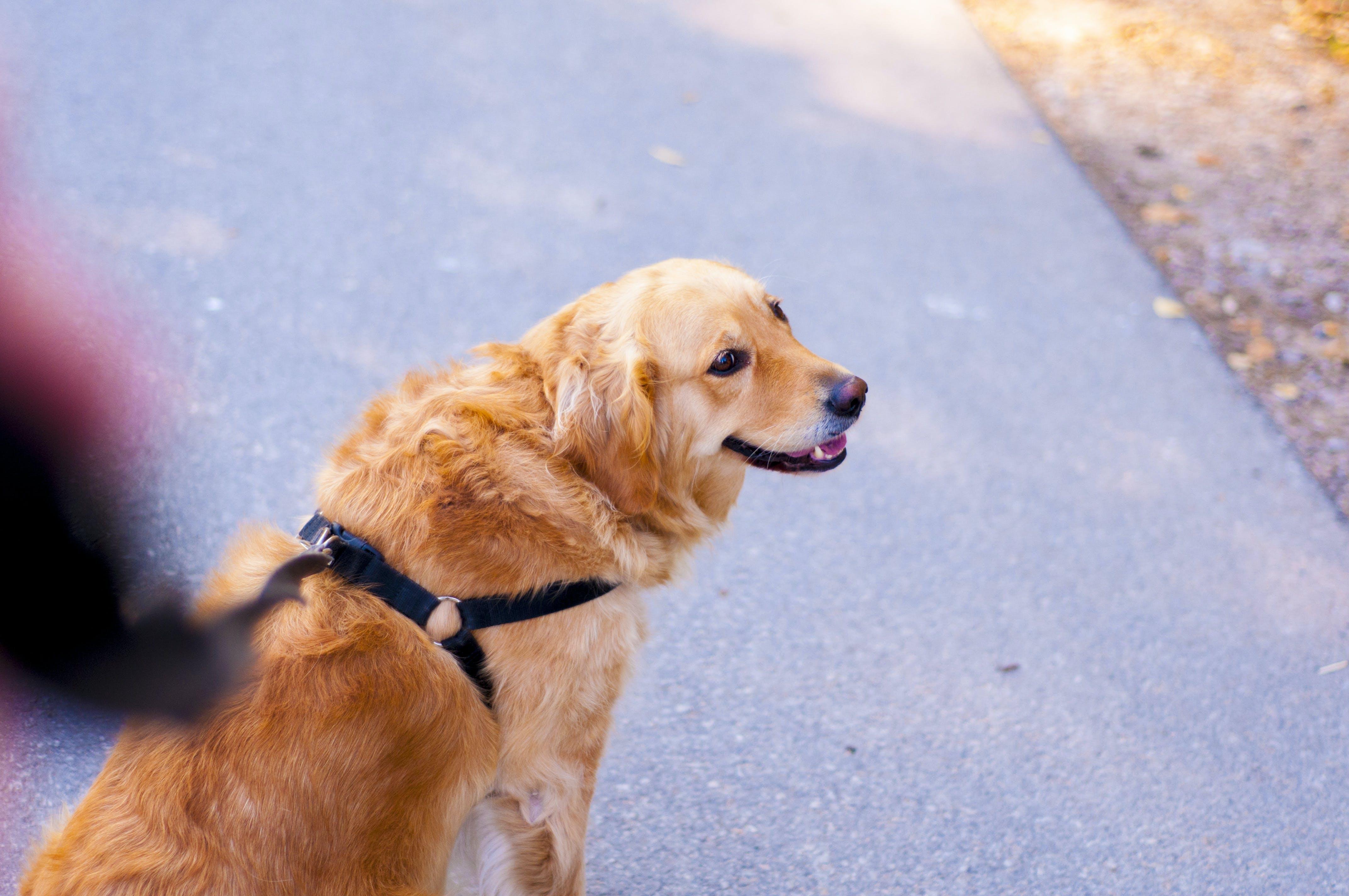 Brown and Beige Medium Fur Dog