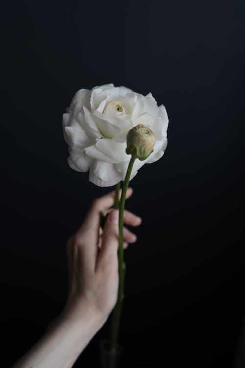 Beyaz gül, bitki örtüsü, çiçek içeren Ücretsiz stok fotoğraf