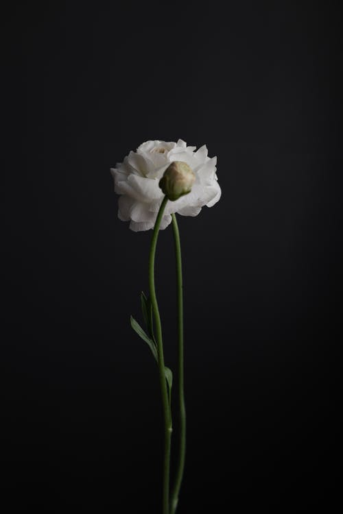 Blooming Eustoma with tender petals and bud
