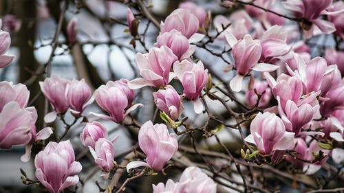 Beautiful Lily Magnolia Flowers in Bloom