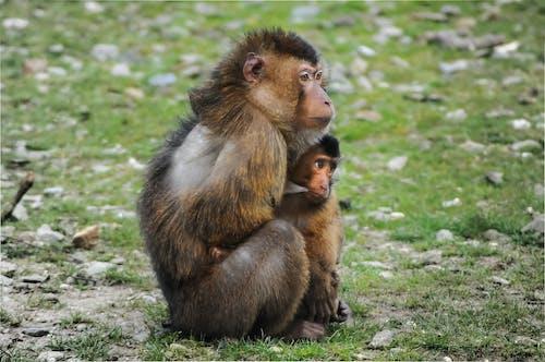 Základová fotografie zdarma na téma beruk, dítě, jižní prasátko-makak, kojení