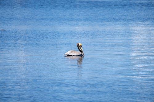 A Pelican in the Sea