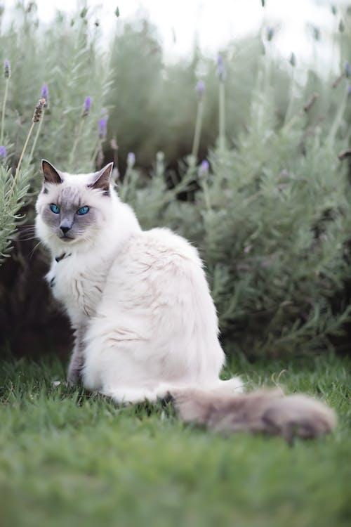 Gray Siamese cat sitting on grass