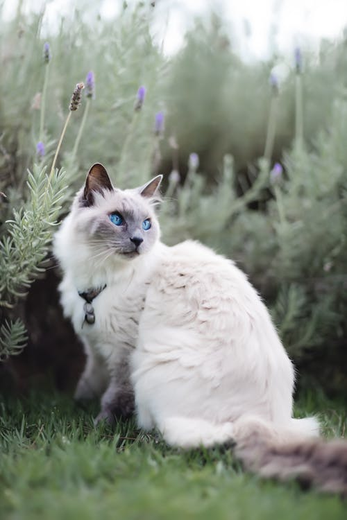 Side view of curious Thai cat in collar sitting on grassy lawn and attentively looking at distance