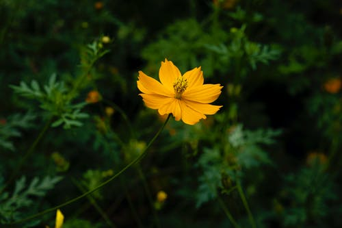 Close-Up Shot of a Yellow Cosmos in Bloom
