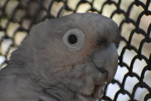 Free stock photo of african gray parrot, african grey, african grey parrot