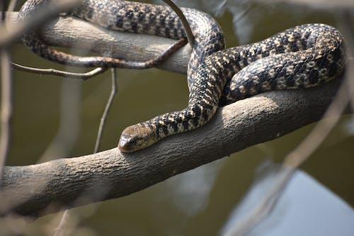 Free stock photo of best reptile as pet, bhb reptiles, biggest snake