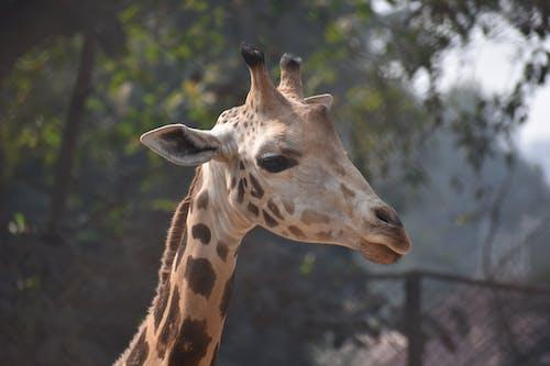 Free stock photo of 8k giraffes, april the giraffe, baby giraffe