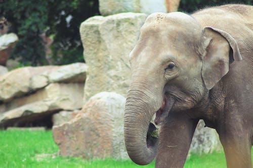 Afrika, fil, hayvan, hayvanat bahçesi içeren Ücretsiz stok fotoğraf
