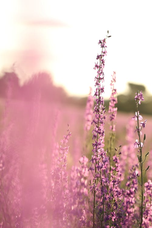 Abundance of long purple wildflowers on thin green stems growing in meadow in countryside on blurred background in summer day