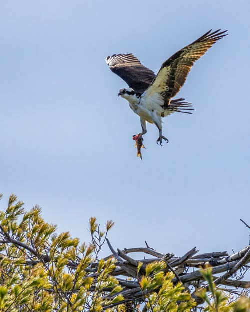Osprey with fish flying in blue sky