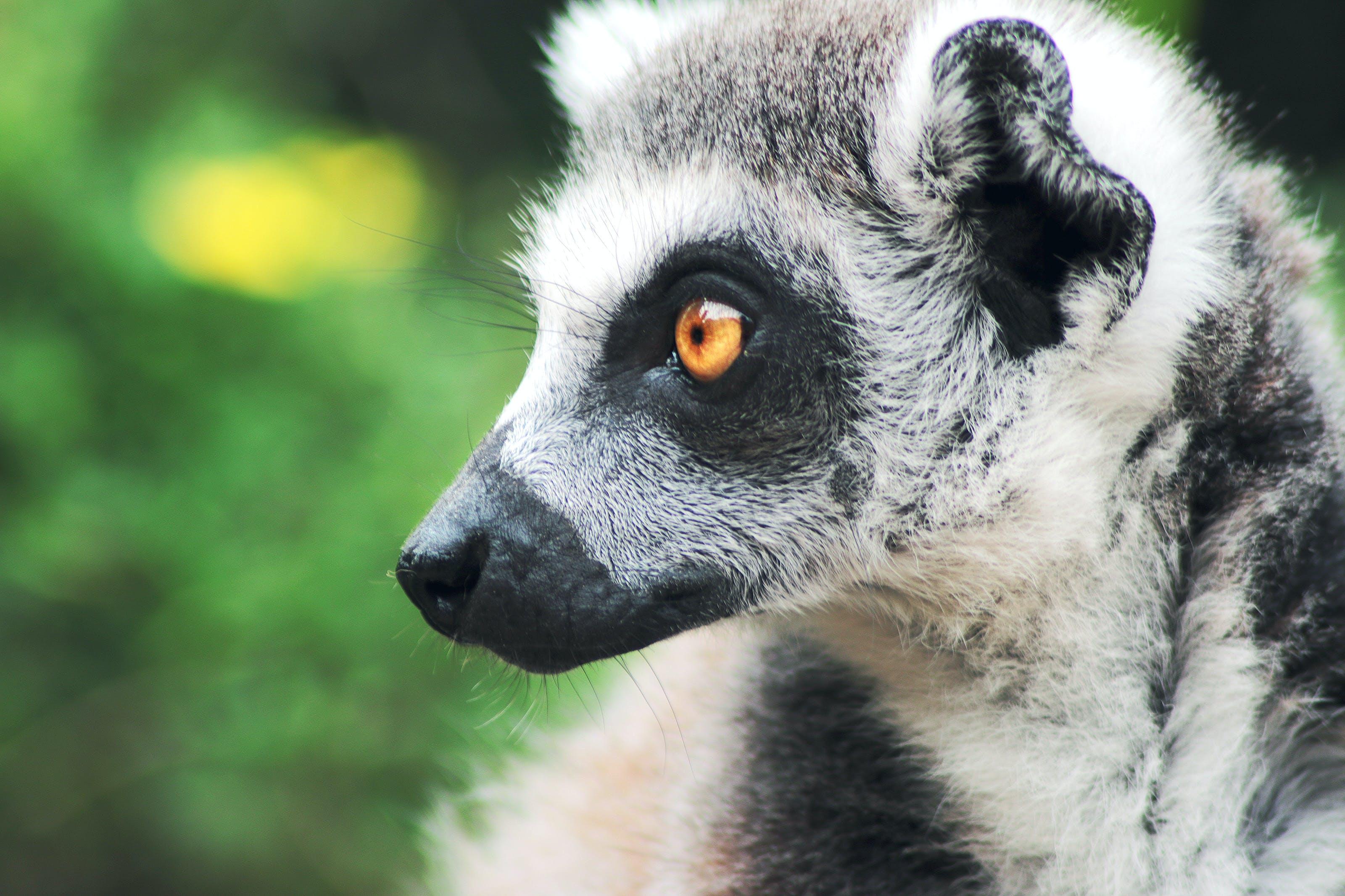 animal, lemur, zoo