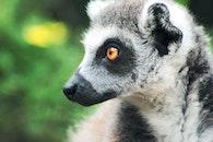animal, zoo, lemur
