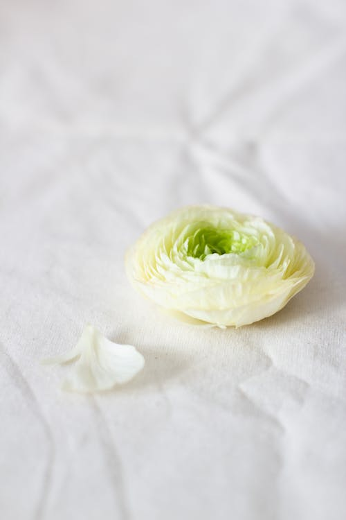 Tender white ranunculus flower on white surface