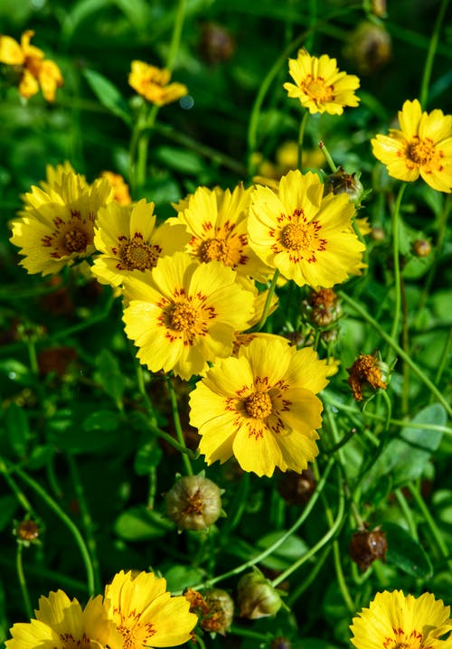 Beautiful Tickseed Flowers