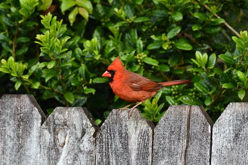 A Northern Cardinal Perched on a Wooden Fence