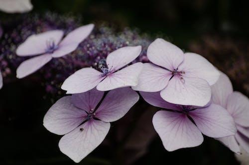 Ingyenes stockfotó hortenzia, lila, tavaszi virágok témában