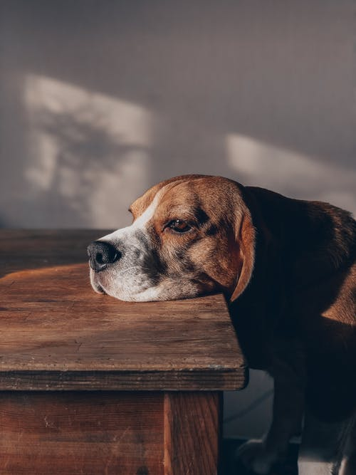 Brown White and Black Short Coated Dog on Brown Wooden Table