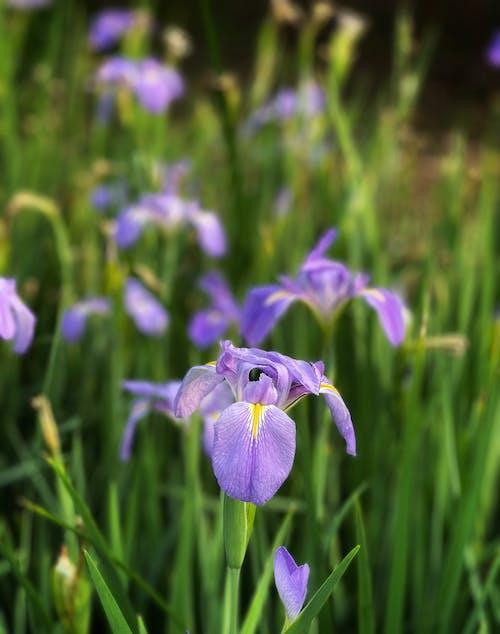 Beautiful Iris Flowers in Bloom