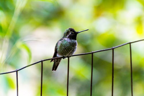 A Bee Hummingbird Perched on a Metal Railing