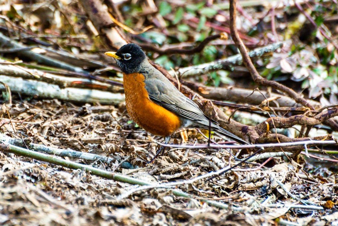 An American Robin Standing on the Ground