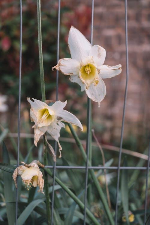คลังภาพถ่ายฟรี ของ กระเปาะ, กลางแจ้ง, กลีบดอกไม้