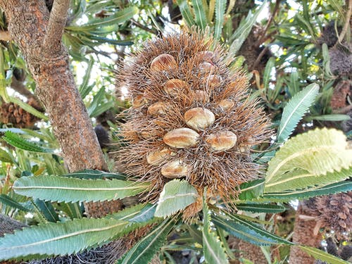 Free stock photo of australian native plants, banksia