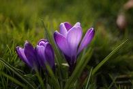 spring, flower, lilac