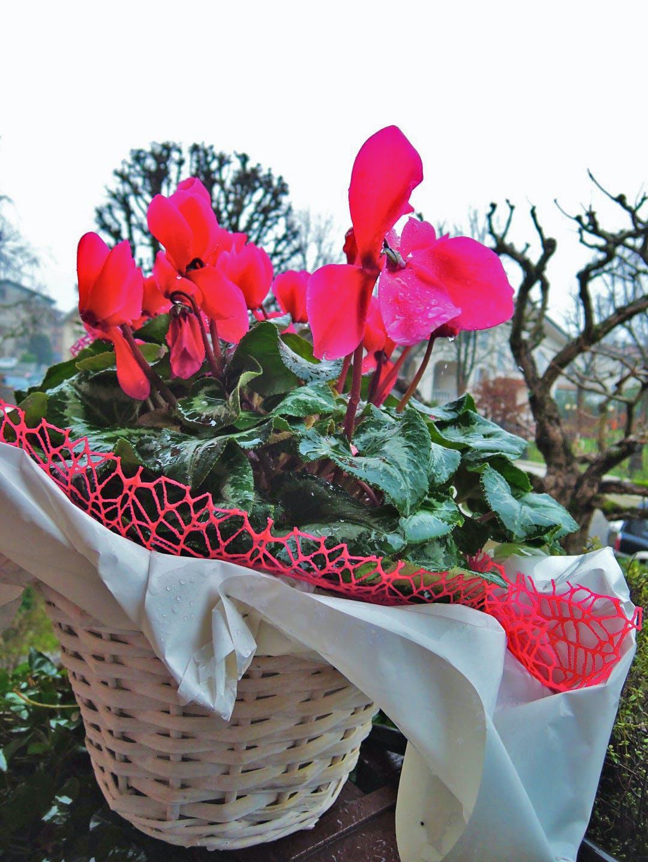 Free stock photo of carpi, flowers, fossoli, rain
