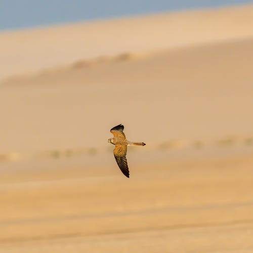 Wild brown bird with spread wings flying in air above desert area with sand in nature on sunny summer day
